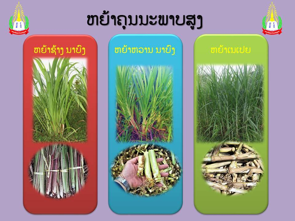 Department of Livestock-Fisheries distributed grass stem to farmers